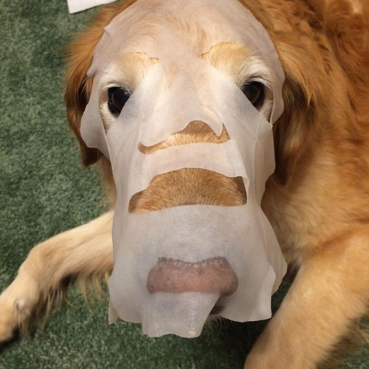 Mom said it was a girls night in so she decided to put a face mask on me and herself #weird #me #love #dog #face #golden...
