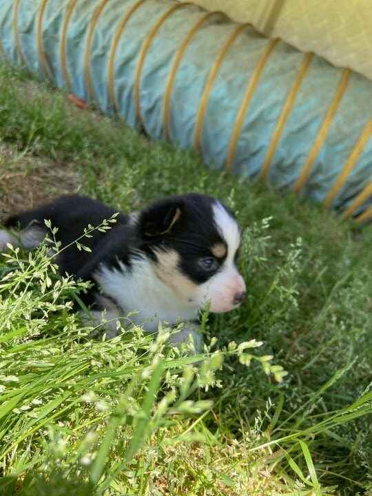 *UPDATE* SOLD* ACA registered Female tricolor puppy available. Peanut & Stoney litter. Tail docked by licensed vet. Will...